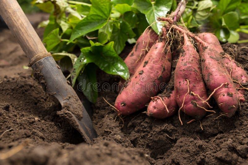 Desenterrada patata dulce fotos de archivo