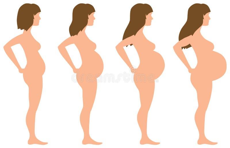 Desenvolvimento da gravidez em quatro fases ilustração stock