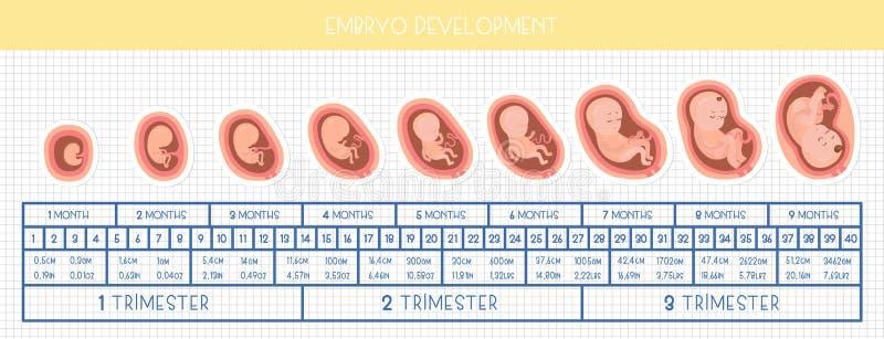 Desenvolvimento de Embrio mês a mês ilustração royalty free
