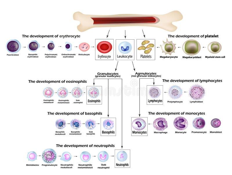 Desenvolvimento do eritrócite dos glóbulos, glóbulos vermelhos, leucócito, eosinophils, linfócitos, neutrófilo, basófilo ilustração stock