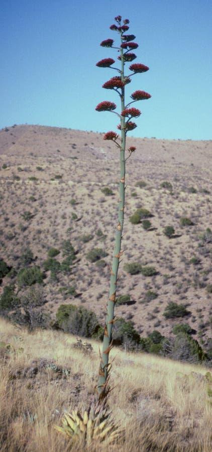 Desert Agave Bloom