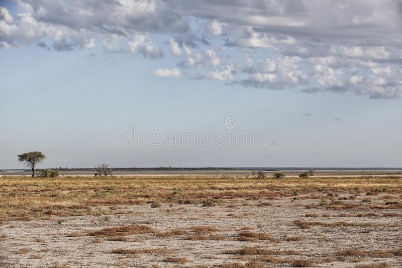 Desert andscape with a lonesome umbrella thorn tree stock images