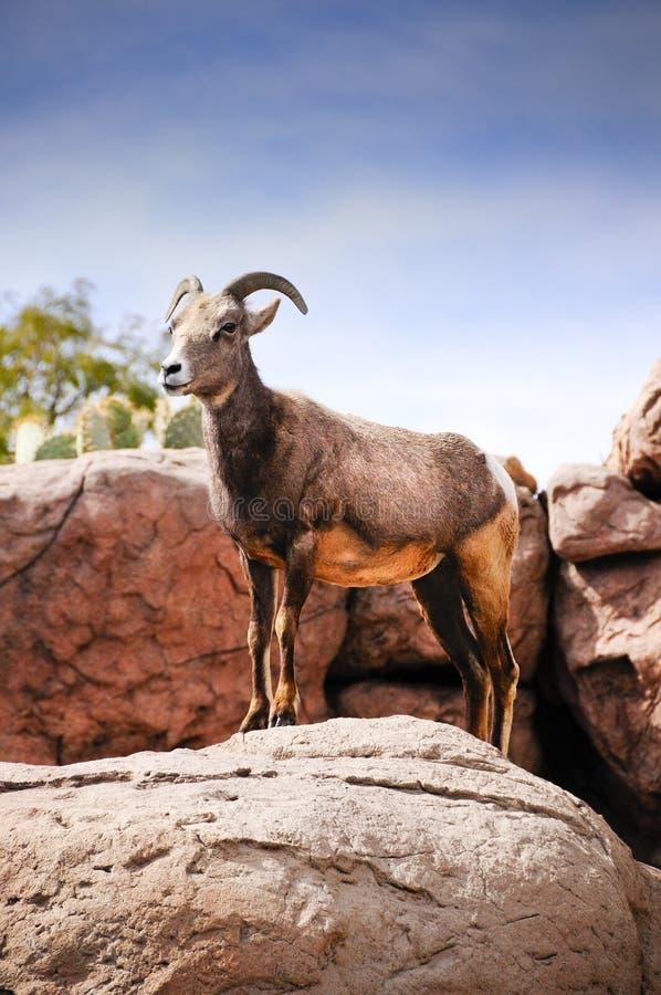 Desert Big Horn Sheep stock photography