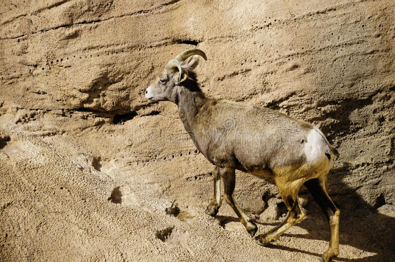 Desert Big Horn Sheep royalty free stock images
