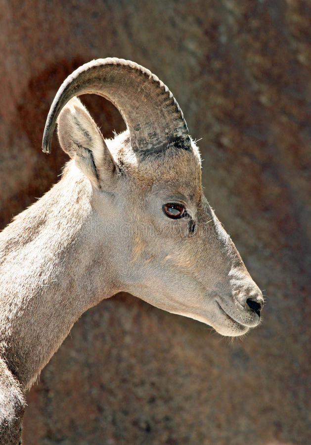 Desert Big Horn Sheep. Bighorn Female Ewe Close Up Head royalty free stock photo