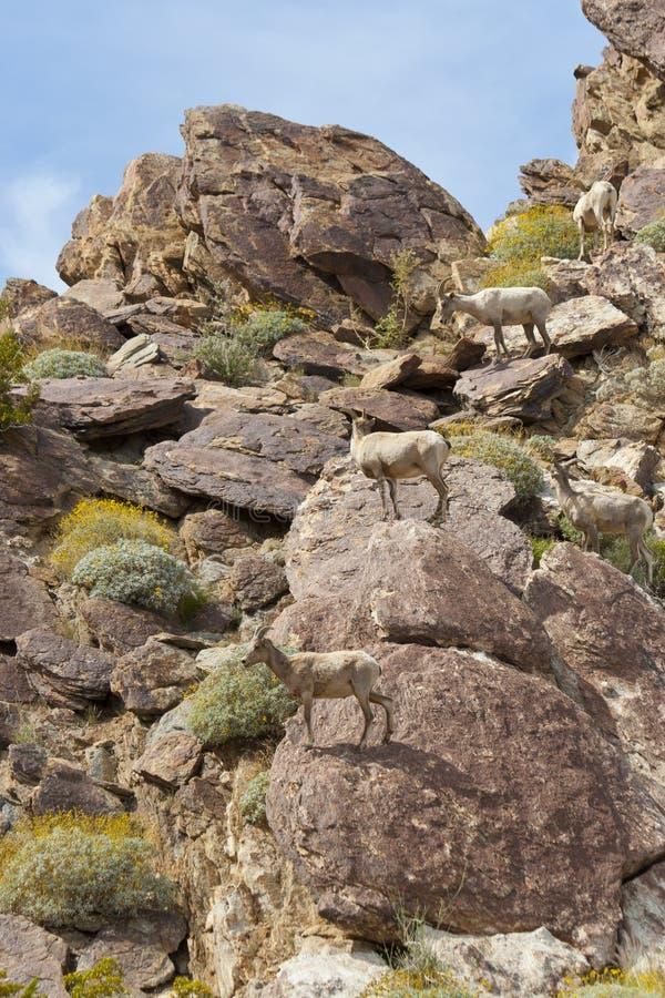 Free Desert Bighorn Sheep In Anza Borrego Desert. Stock Image - 22686761