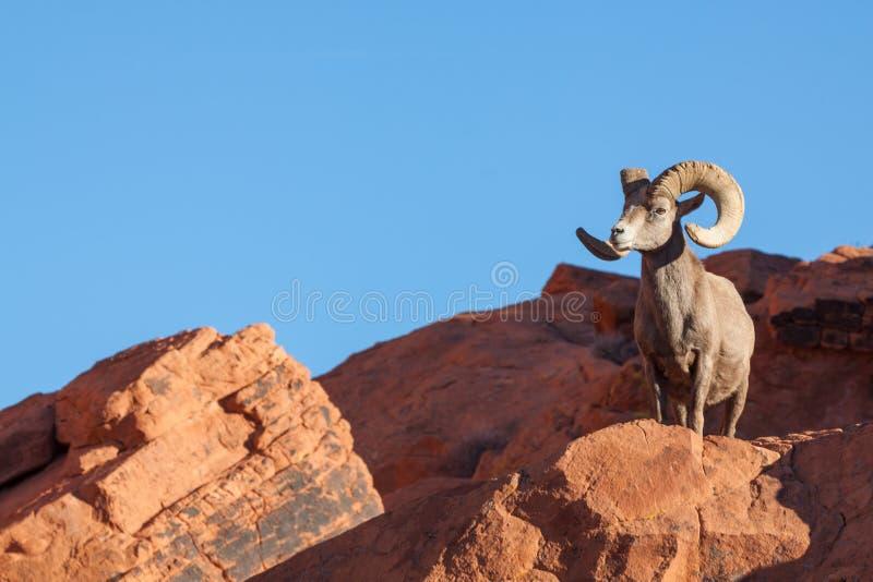 Desert Bighorn Sheep Ram on Rock royalty free stock photo