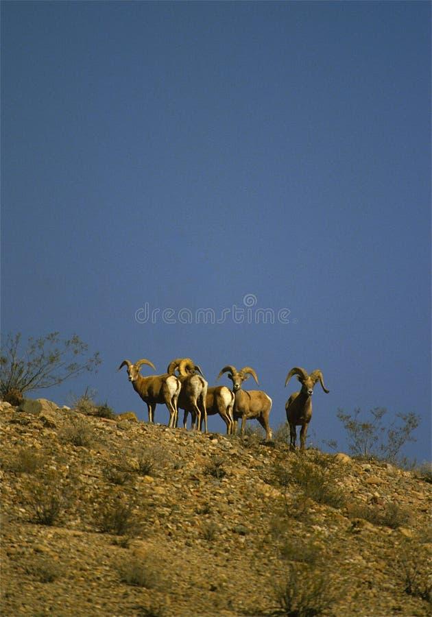 Desert Bighorn Sheep Rams