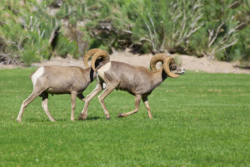 Download Desert Bighorn Sheep Rams stock image. Image of desert - 34086917