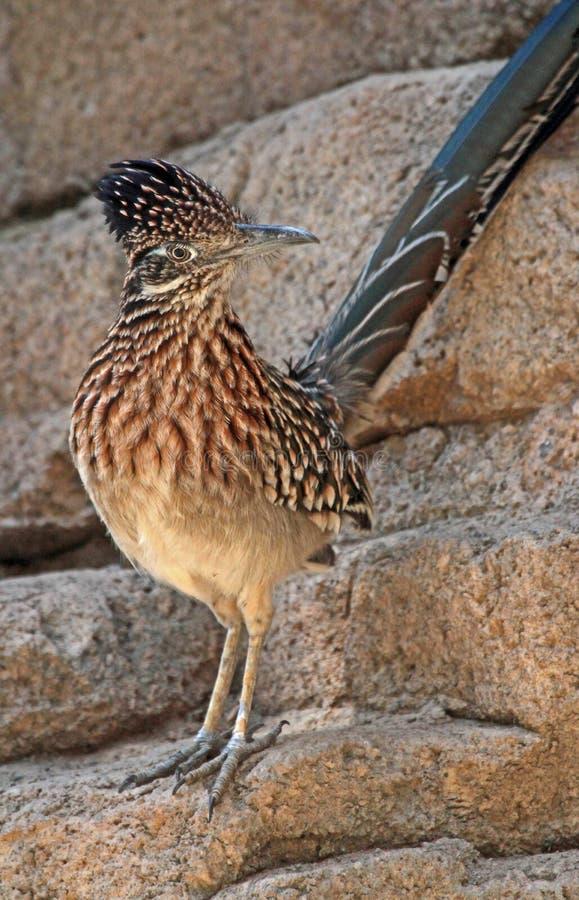 Desert Bird. Close Up Portrait Of Road Runner Bird With Topknot stock images