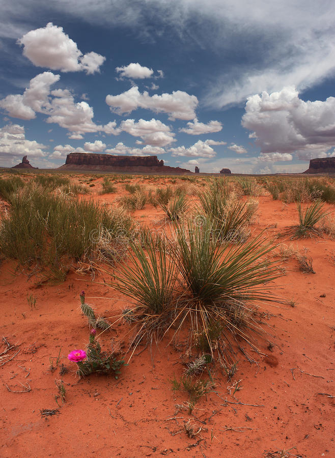 The Desert in Bloom. A cactus blooming in the desert of Monument Valley, Arizona royalty free stock photography