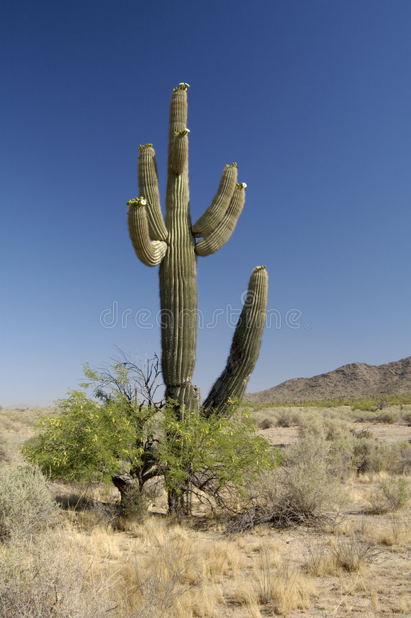 Desert Bloosoms stock images