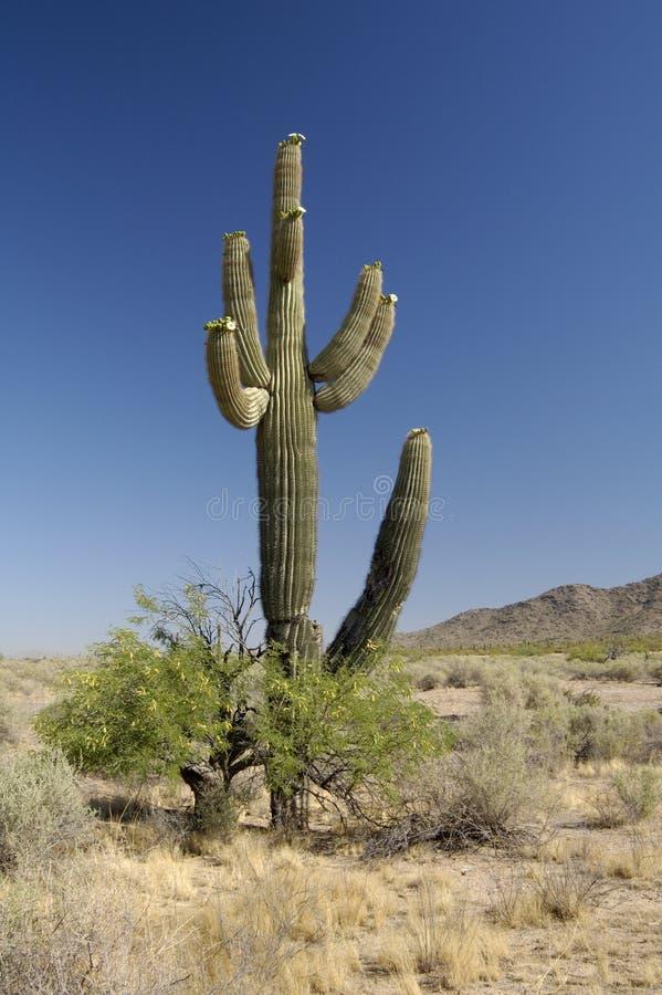 Desert Bloosoms. Saguaro cacti blossoms in the Sonoran Desert in Arizona stock images