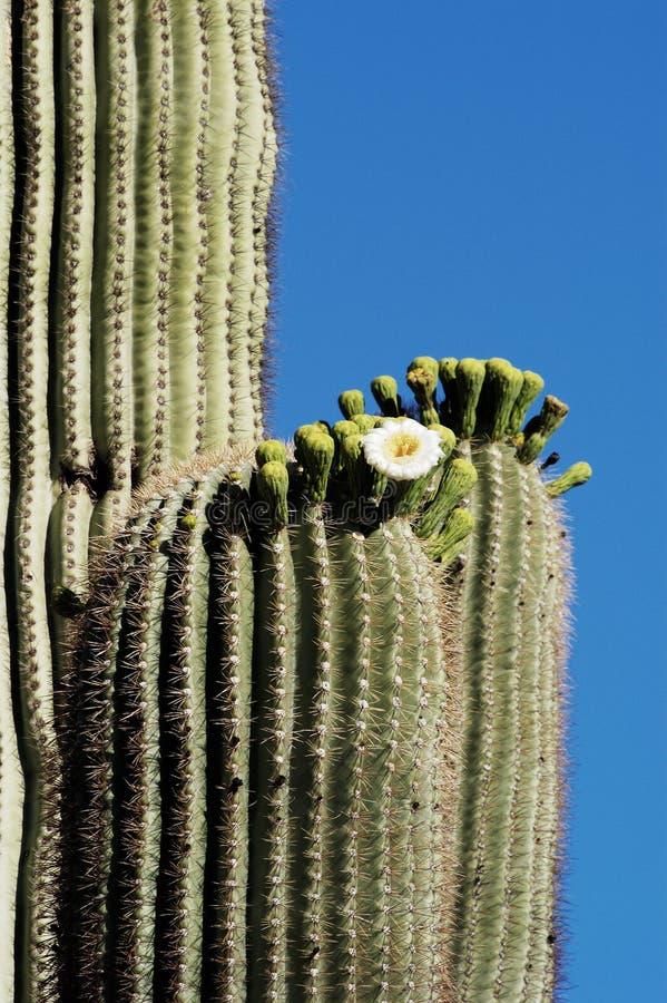 Desert Bloosoms 4. Saguaro cacti blossoms in the Sonoran Desert in Arizona royalty free stock photo