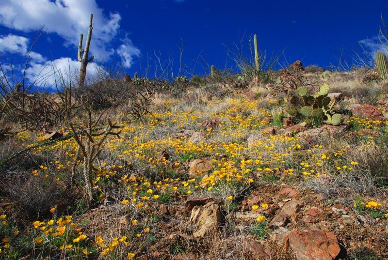 Desert blossom royalty free stock photo