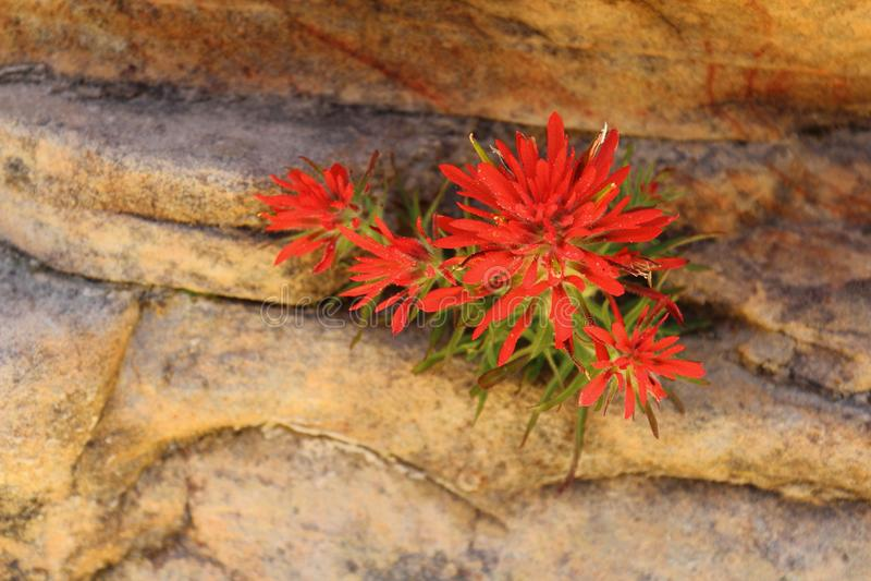 Desert Blossoms - Indian Paintbrush, Castilleja scabrida, Zion National Park, Utah royalty free stock photo