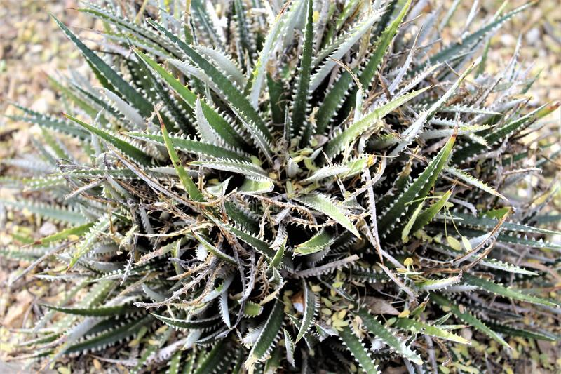 Desert Botanical Garden Phoenix, Arizona, United States. Dycki xsp., Dyckia Hybrid cactus at the Desert Botanical Garden during the winter located in Phoenix stock photos