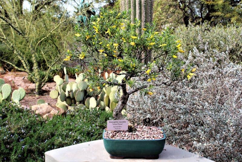 Desert Botanical Garden Phoenix, Arizona,United States. Potted cactus at the Desert Botanical Garden during the winter located in Phoenix, Arizona, United States stock photos