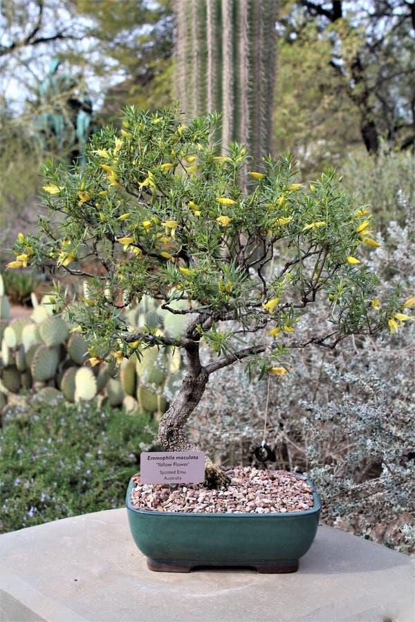 Desert Botanical Garden Phoenix, Arizona,United States. Potted tree at the Desert Botanical Garden during the winter located in Phoenix, Arizona, United States stock photo