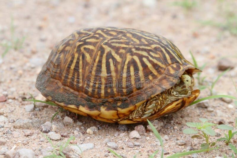 Desert Box Turtle Terrapene ornata luteola. In New Mexico royalty free stock image