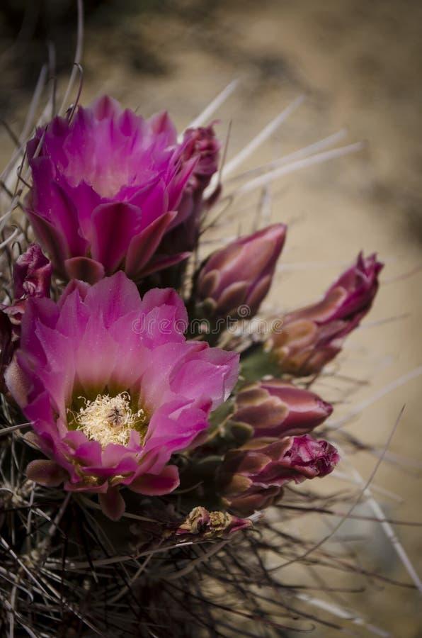 Desert cactus flower. Vivid pink desert cactus flower stock photography