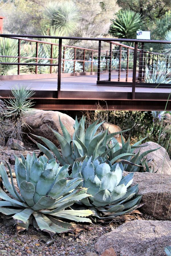Desert Botanical Garden Phoenix, Arizona, United States. Desert cactus landscape scenery at the Desert Botanical Garden during the winter located in Phoenix stock photos