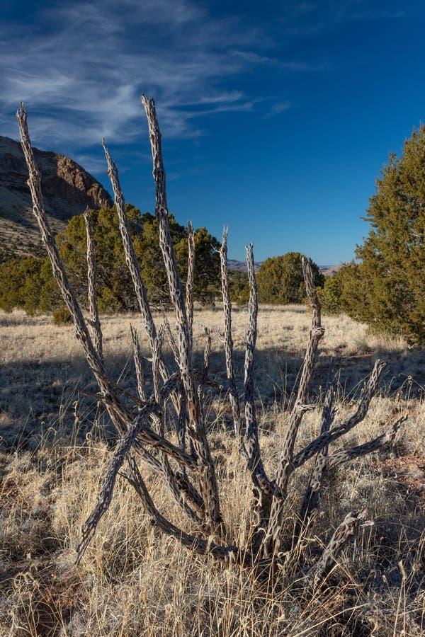 Desert cactus skeleton on winter New Mexico plain, mountain background, American Southwest. Vertical aspect royalty free stock image