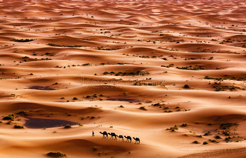 Desert. Camel caravan going through the sand dunes in the Sahara Desert, Morocco