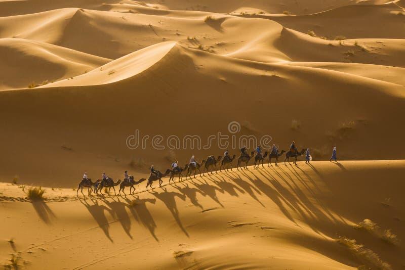 Desert camel group sahara sunset royalty free stock images