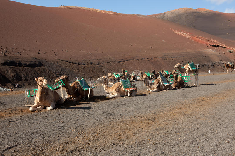 Download Desert camels stock image. Image of laid, dromedary, down - 22932021