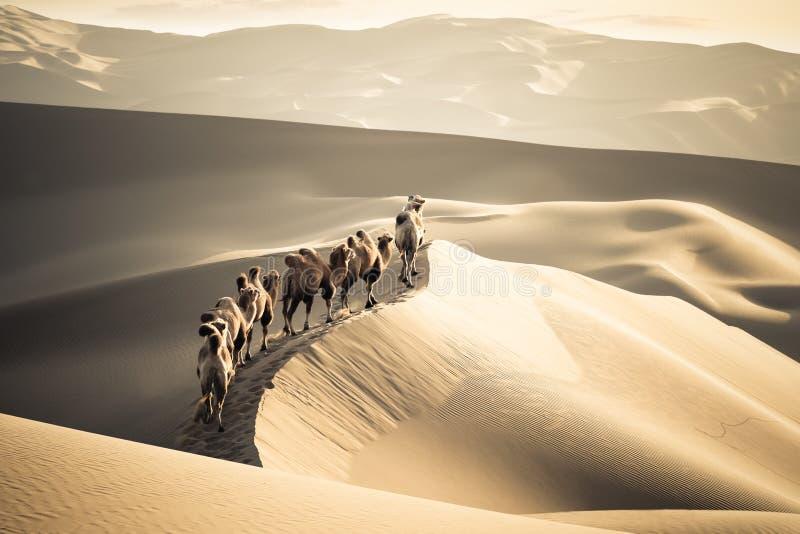 Desert camels team royalty free stock image