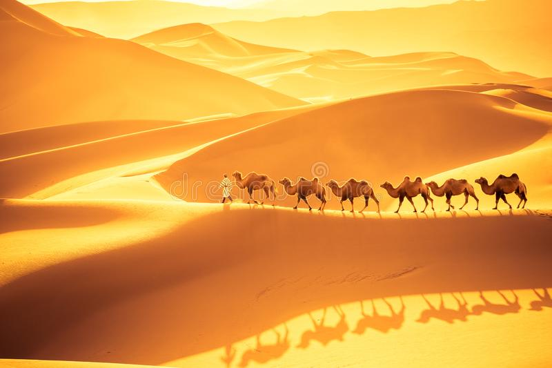 Desert camels team. Camels team march on the sand dunes, golden desert landscape in sunset stock photography