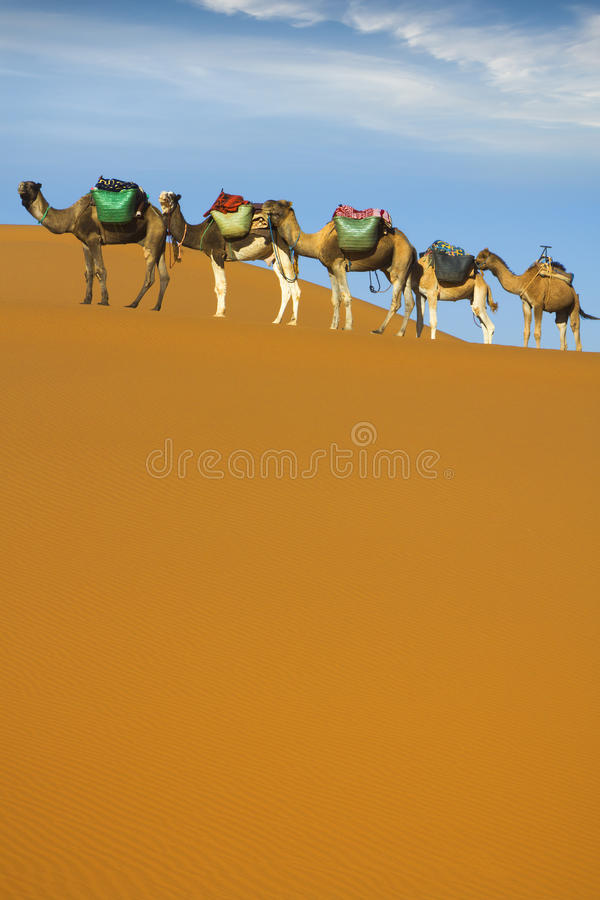 Desert caravan. Camel caravan moving in Sahara desert in morning royalty free stock image