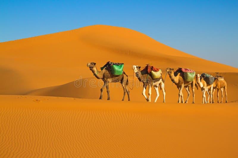 Desert caravan. Camel caravan moving in Sahara desert in morning stock photos