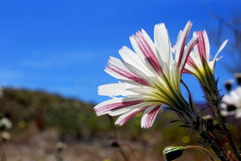 Desert chicory flower, Anza Borrego Desert State Park. The white desert chicory flower are in full bloom at Anza Borrego Desert State Park, California stock image