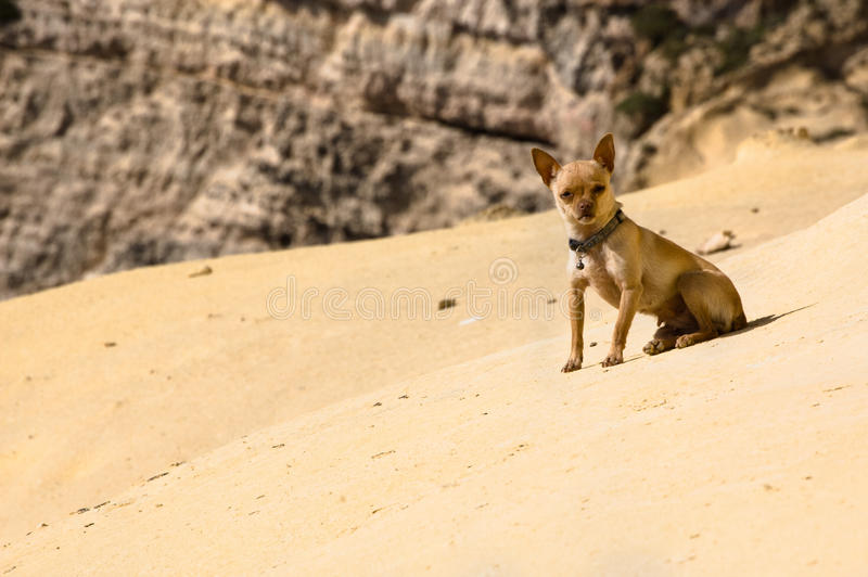 Desert chihuahua royalty free stock photo