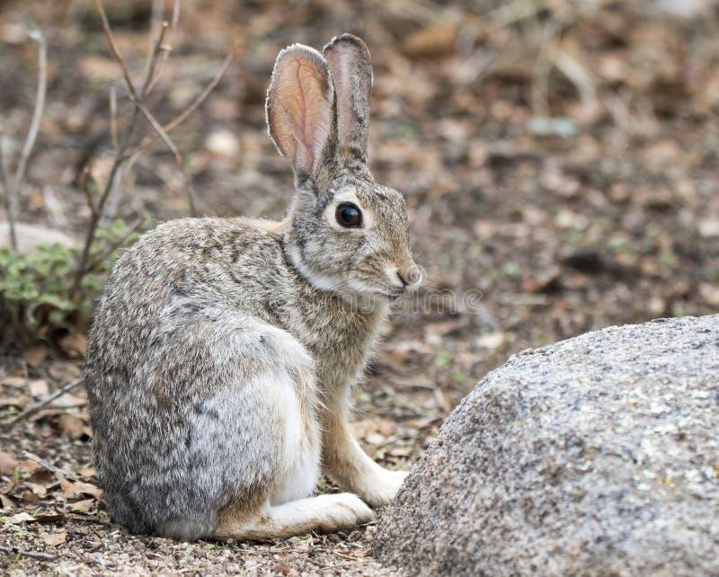 Desert Cottontail Rabbit, Lake Watson, Prescott Arizona. Desert Cottontail Rabbit at Lake Watson Riparian Preserve reservoir at the Granite Dells, Prescott royalty free stock photography