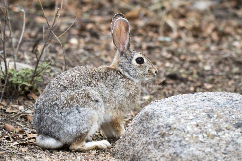 Desert Cottontail Rabbit, Lake Watson, Prescott Arizona USA. Desert Cottontail Rabbit at Lake Watson Riparian Preserve reservoir at the Granite Dells, Prescott stock photos