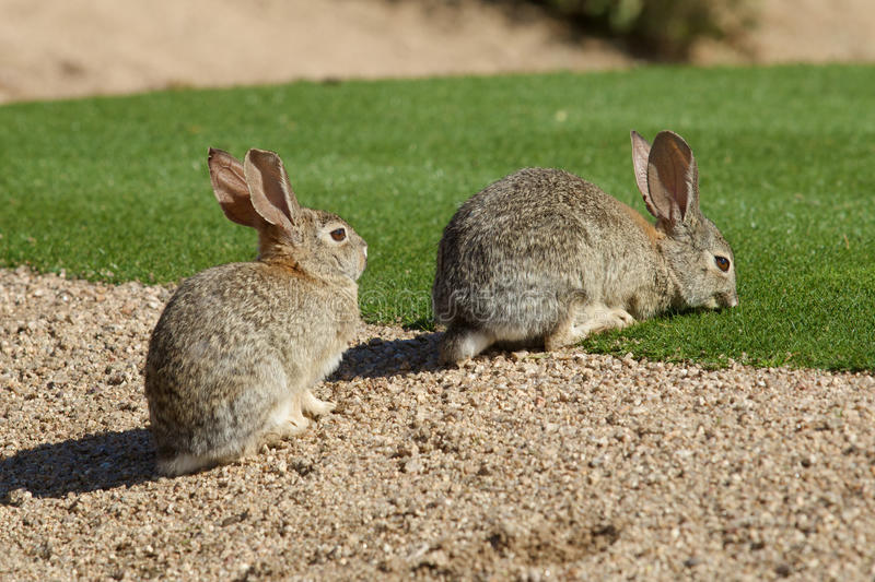 Desert Cottontails. A pair of desert cottontail rabbits stock photography