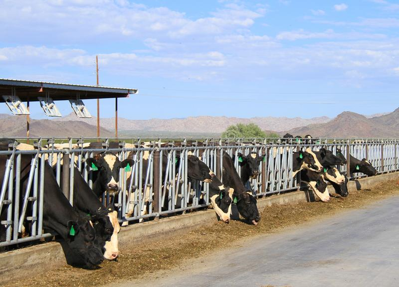 Download Desert Dairy farm editorial image. Image of cattle, grazing - 26761820