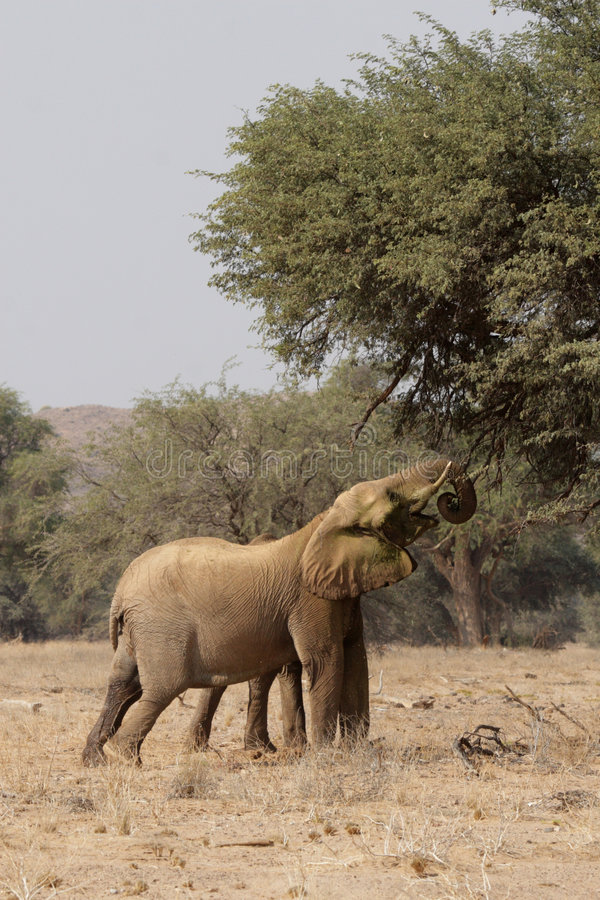Desert Elephants. The desert Elephants of northern Namibia are perfectly adapted to a living in their very dry territory; this shot taken in the dry riverbed of stock photos