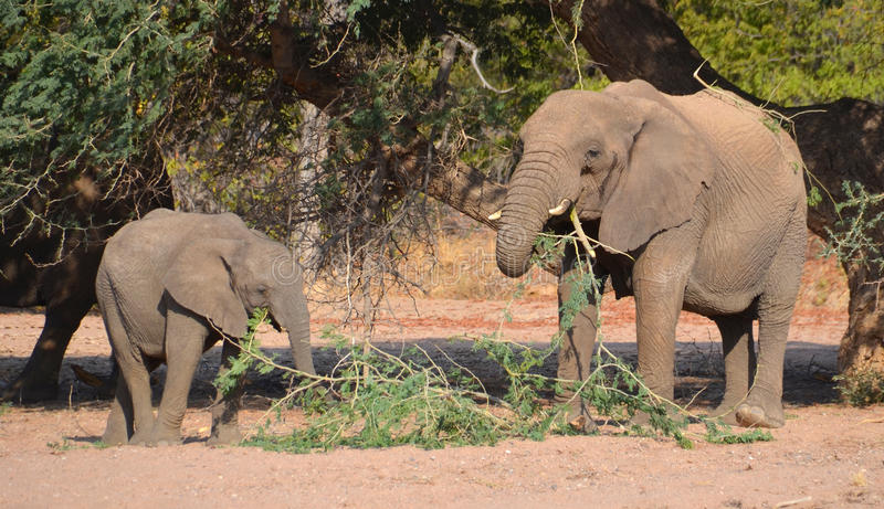 Desert elephants. Are not a distinct species of elephant but are African bush elephants Loxodonta africana that have made their homes in the Namib and Sahara stock photography