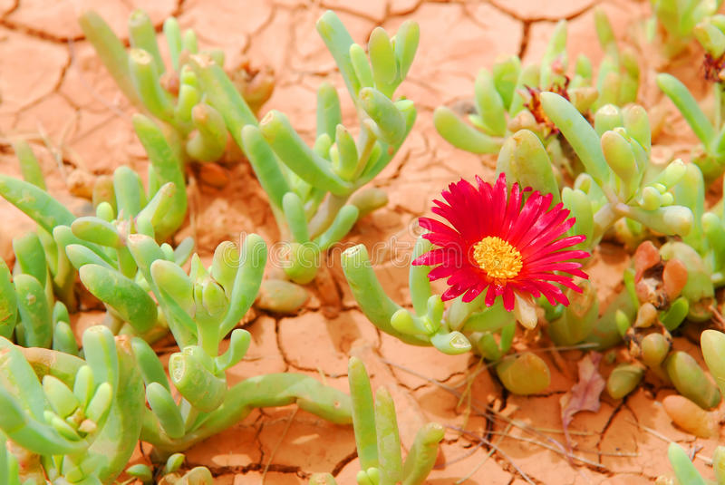 Desert flower. Pattern of cracked and dried desert soil with red flower succulent royalty free stock photography