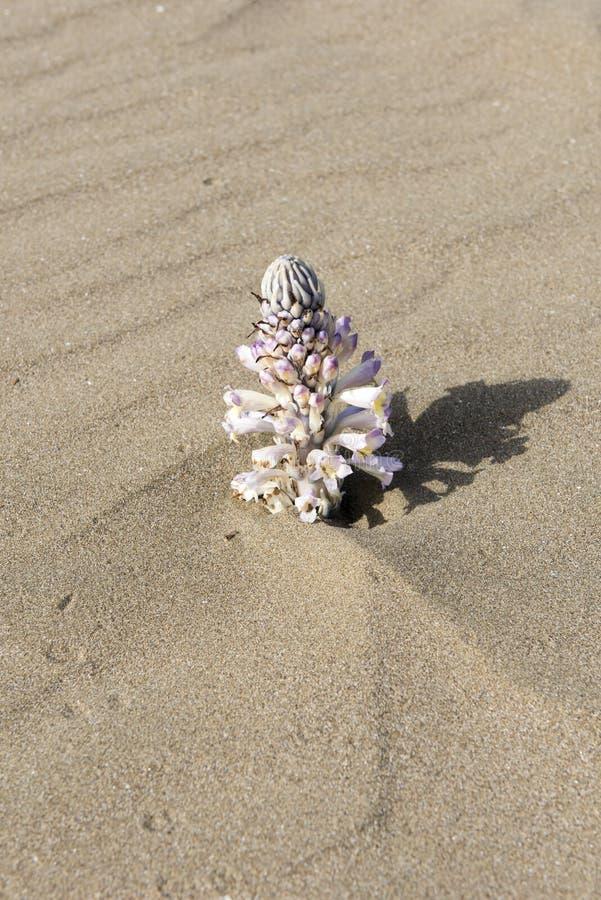 Desert flower stock photos