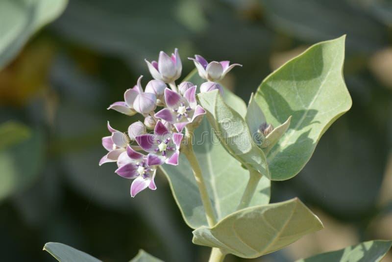 Desert Flower. Purple flower in a desert stock images