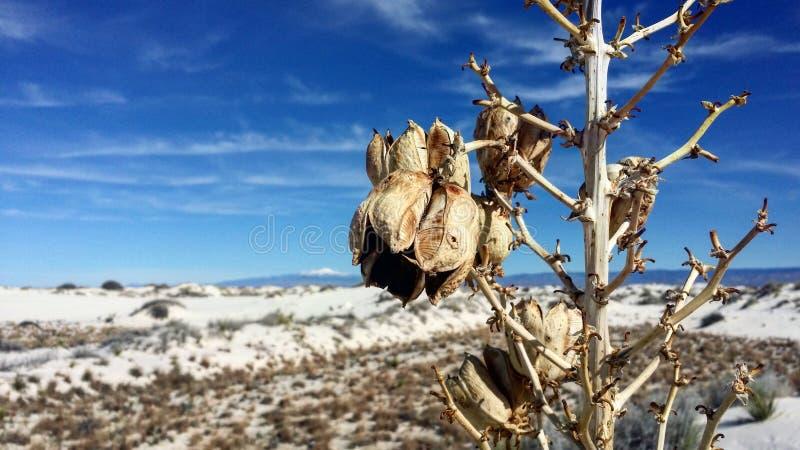 Desert flower. A desert flower in the white sands stock image
