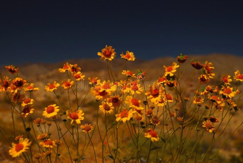 Desert Flowers royalty free stock photo