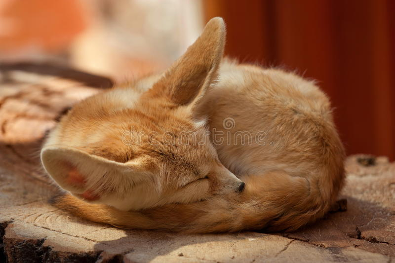 Download Desert fox stock photo. Image of dreaming, head, animal - 25372262