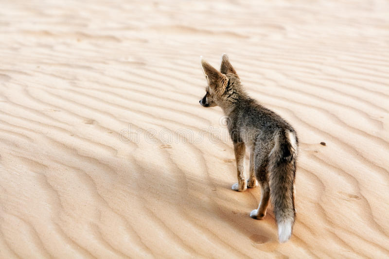A Desert Fox Surveying his Territory stock image