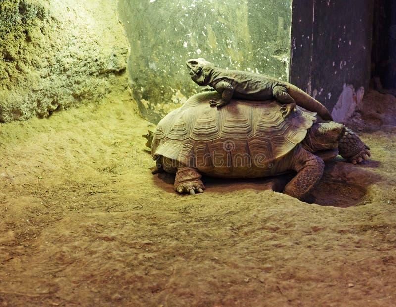 Desert Friends. A tortoise and a lizard are friends in the desert stock photos